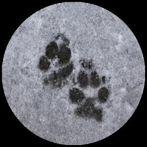 Dog pawprints in snow